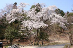 柿野事業所桜